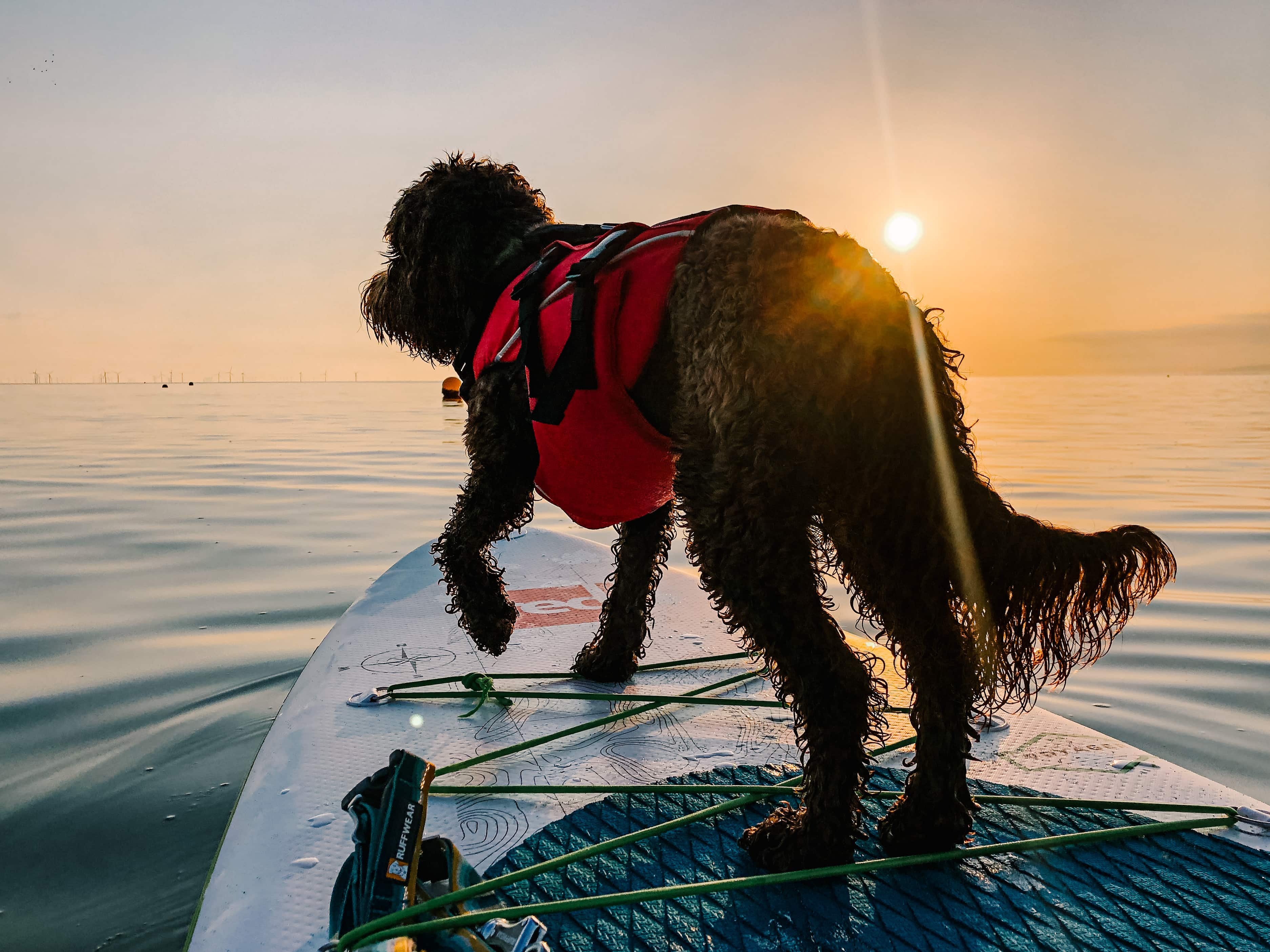 Dog at the front of the paddle board