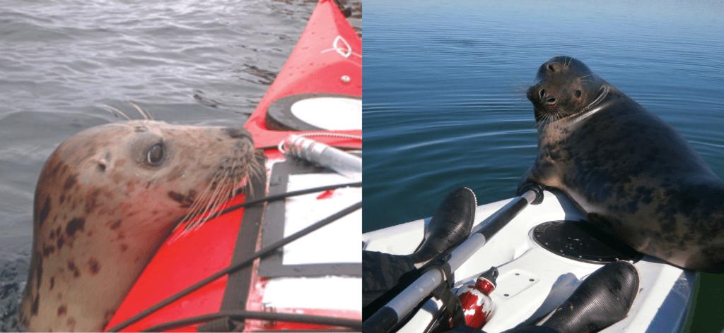 Kayakers sitting still to avoid disturbing seals